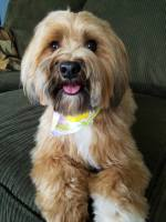 Havanese puppy cut